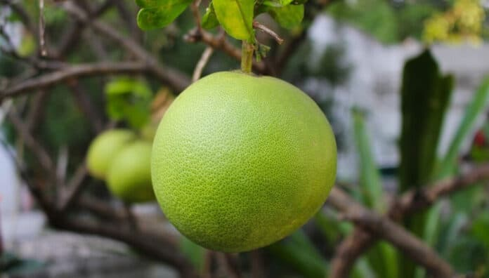 10 Impressive Health Benefits Of Pomelo Fruit