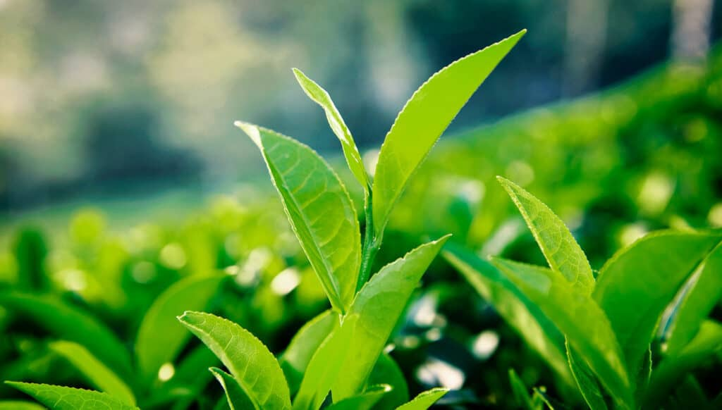 How To Make Green Tea At Home With Leaves